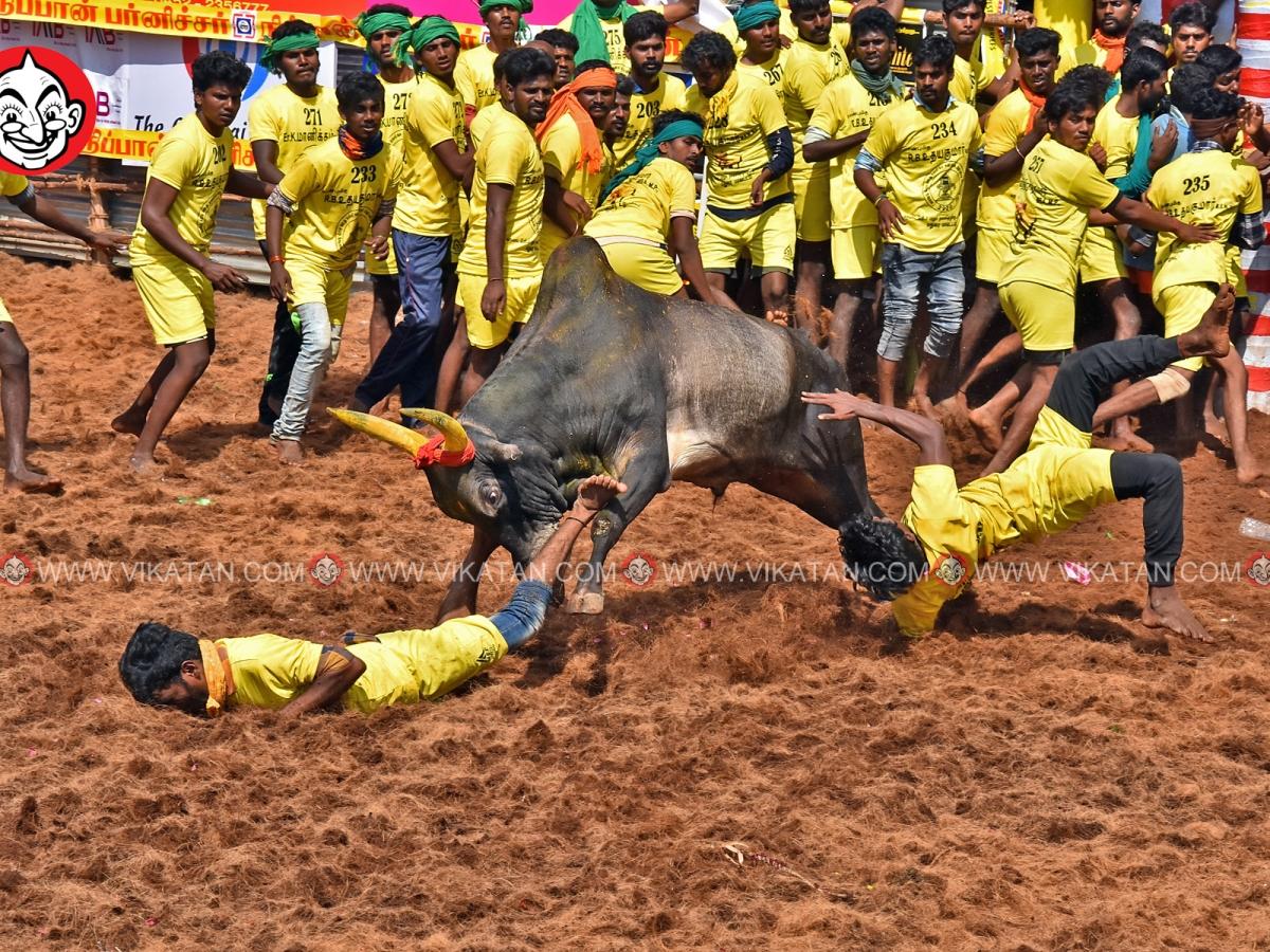 திமிறிய காளைகள்... `திமில்' பிடித்த வீரர்கள்... பாலமேடு ஜல்லிக்கட்டின் ஆக்ஷன் படங்கள்!